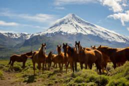 Argentinien Vulkan Lanin Pferde