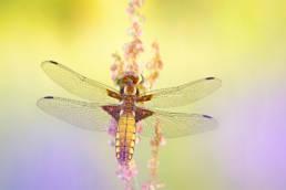 Makro Libelle Plattbauch Weibchen