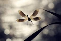 Prachtlibelle Männchen Anflug Gegenlicht Reflektionen