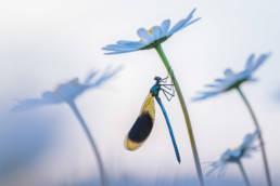 Makro Prachtlibelle Männchen Margerite