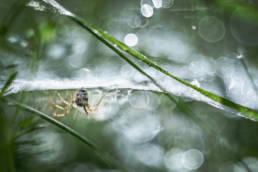 Makro Spinne Gegenlicht Tau Flares